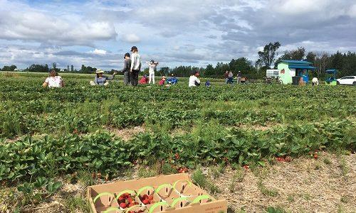 Restez à l'affût pour vous inscrire aux cueillettes : bleuets, maïs, fèves, tomates…