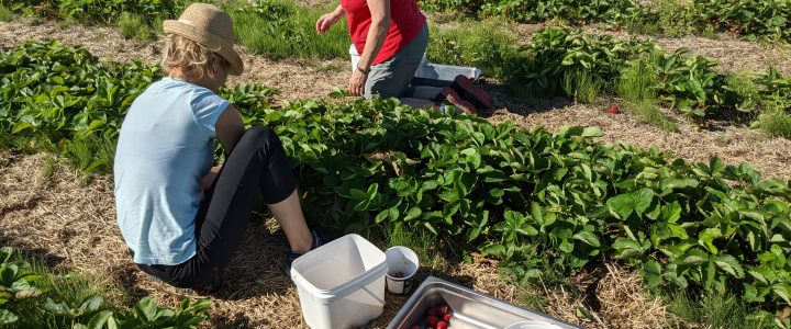 Des bonnes fraises de la Ferme Jocelyn Cosette