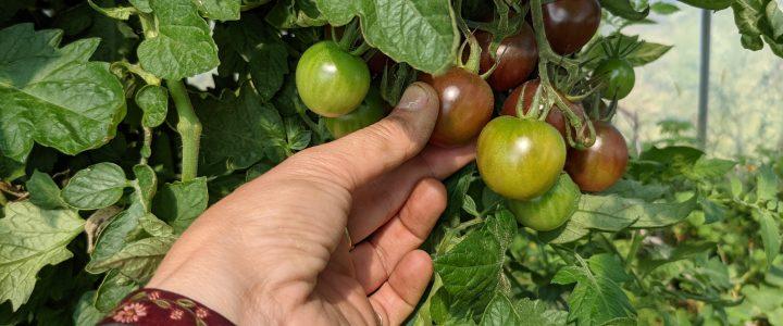 C'est l'abondance de tomates!